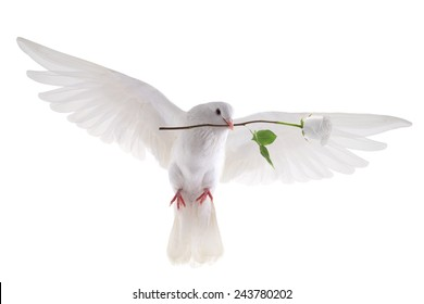 free flying white pigeon in a beak with a rose is isolated on a white background