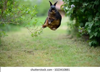 "free german rabbit ""Easter bunny"" happily bock jumping in green garden between bushes, European Animals"