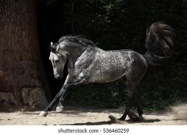 Free grey arab horse runs free