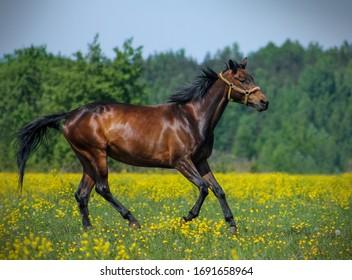 free horses run across the field