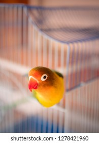 Free lovebird dangle on his cage