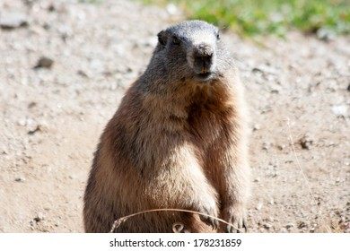 A free marmot over the dolomites