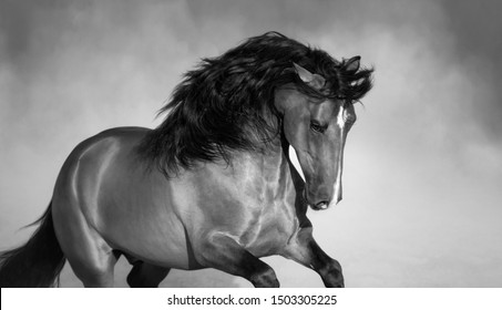 Free Purebred Andalusian horse playing on sand. Black-and-White photo.