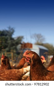 Free range brown hens located in a city farm environment, set against a blue sky background, on a portrait format with room for copy above.