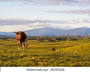 Free range cattle in the foothills outside Chico, California