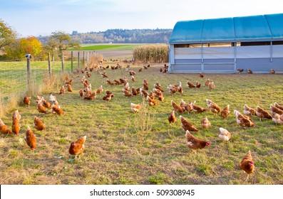 Free range chicken with chicken coop