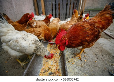 Free range chicken eating corn in a poultry farm