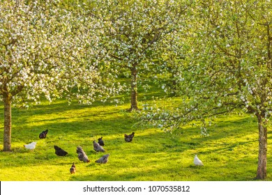 Free range chickens in a sunny blooming Dutch orchard