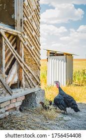 Free range domestic chickens. Farming
