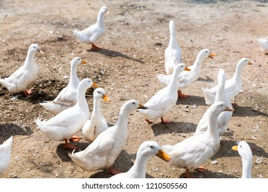 Free range duck in farm, natural livestock farming