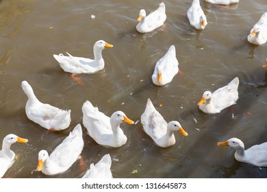 Free range duck in farm, natural livestock farming