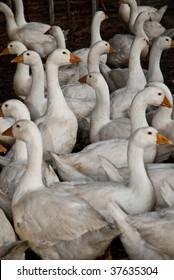 Free range Embden geese