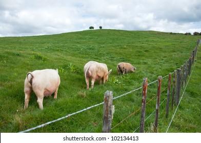 Free range large white pigs grazing in paddock