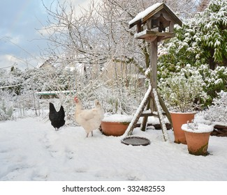 Free Range pet chickens in back garden in winter - Scotland, UK