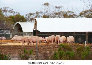 Free Range Pork Farm in the Field