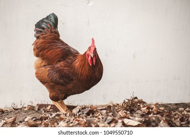 Free range Rhode Island Red Rooster standing looking at camera in front of a blank white board with space for text