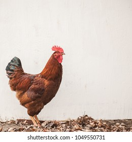 Free range Rhode Island Red Rooster standing looking right in front of a blank white board with space for text, square format