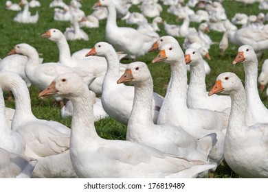 Free range white geese in an open field on a farm