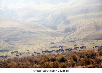 Free ranging cattle graze in the foothills of California's San Joaquin Valley
