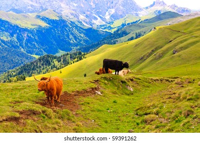 Free roaming highland cows pasture in Dolomites.