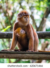Free roaming monkey and its baby at the zoo