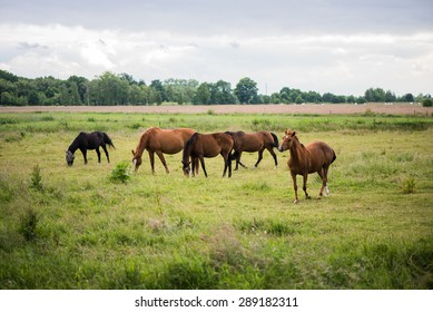 free running horses on meadow , pasture