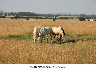 Free running horses, Free State, South Africa