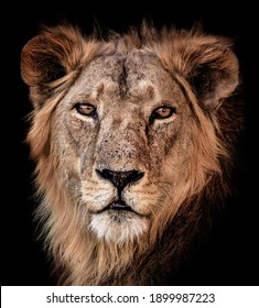 Free standing crystal clear portrait of a East African lion in Chad