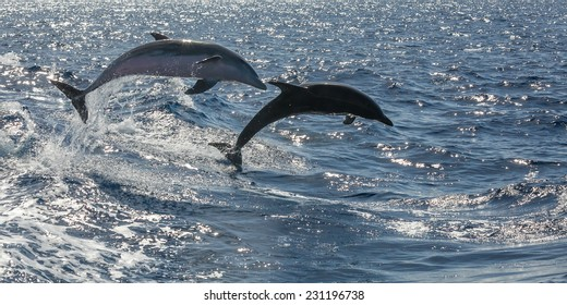 free swimming dolphin (tenerife, spain)