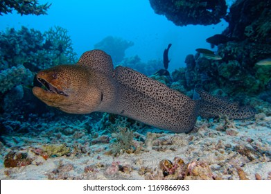 free swimming giant moray swimming towards photographer
