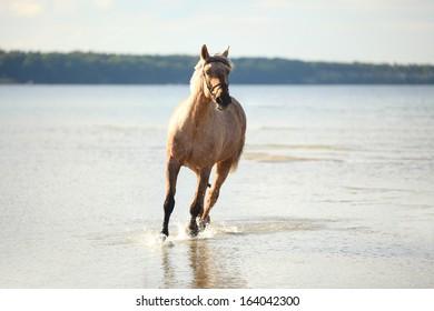 free white horse runs trough the splashes of water