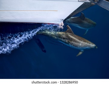 Free wild dolphins playing with a sailing boat