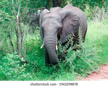 Free and wild elephant in a jungle of Africa | Kruger National Park, Southafrica