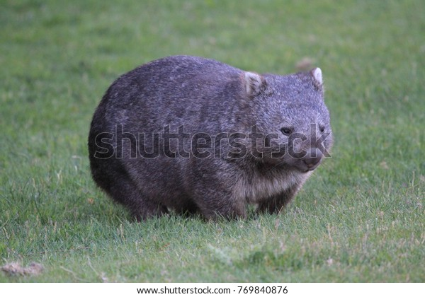 Free and wild wombat walking on grass