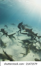 A freediver reaches into the bait box to get a snack for a pack of circling Lemon Sharks (Negaprion brevirostris)