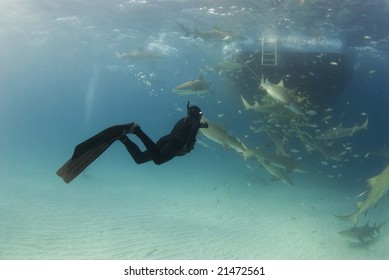 A freediver watches feeding lemon sharks (Negaprion brevirostris) circling behind the boat