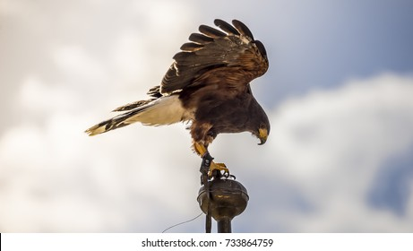 Freedom, falcon climbed to the tip of a belfry in spain, is ready to jump to fly and hunt its prey