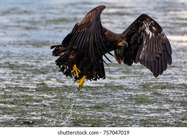 Freedom of Flight showing a beautiful bald eagle taking flight out of the water.