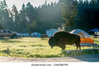 A freely roaming bison grazing at the Bridge Bay Campground in Yellowstone National Park