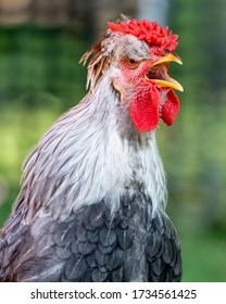 A freerange Icelandic rooster crowing.