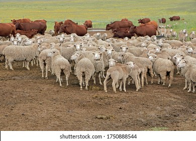 Free-range merino sheep and cattle in natural rangeland on a rural South African farm