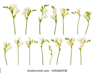 Freesia blooming twigs flower set collection isolated on white background.