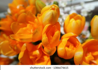 freesia. closed up yellow flowers