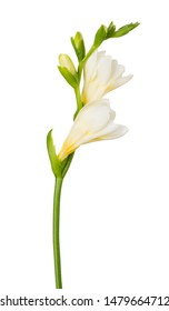 Freesia flower twig blossoming bloom isolated on white background