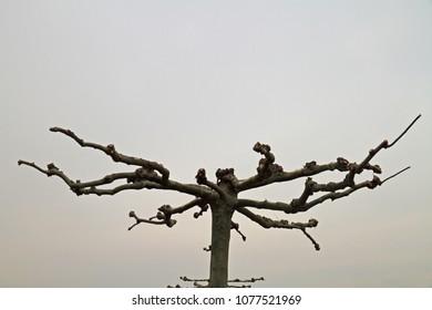 free-standing plane tree