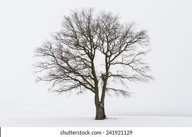 Freestanding tree in winter