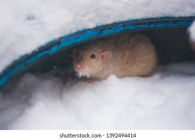 freeze concept. the little beige mouse freezes from the cold. goosebumps