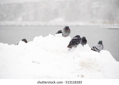 Freezing doves in a snowy Sweden.