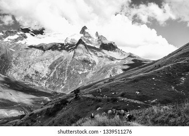 French Alps in summer. Grazing cows at alpine pasture and the Aiguille des Glaciers, mountain in the Mont Blanc massif, at background. View from Chapieux valley, Savoie, France. Black and white photo.