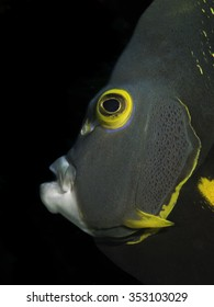 French angel fish head close up.